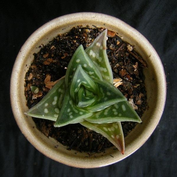 chiyodanishiki (5).JPG