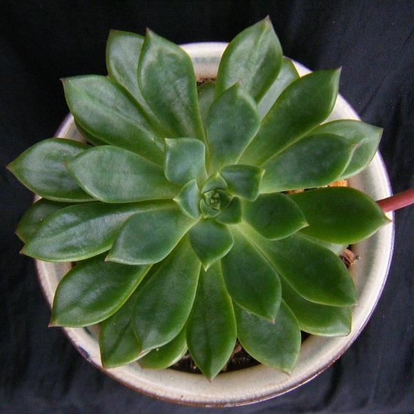 echeveria emeraldlip (1).JPG