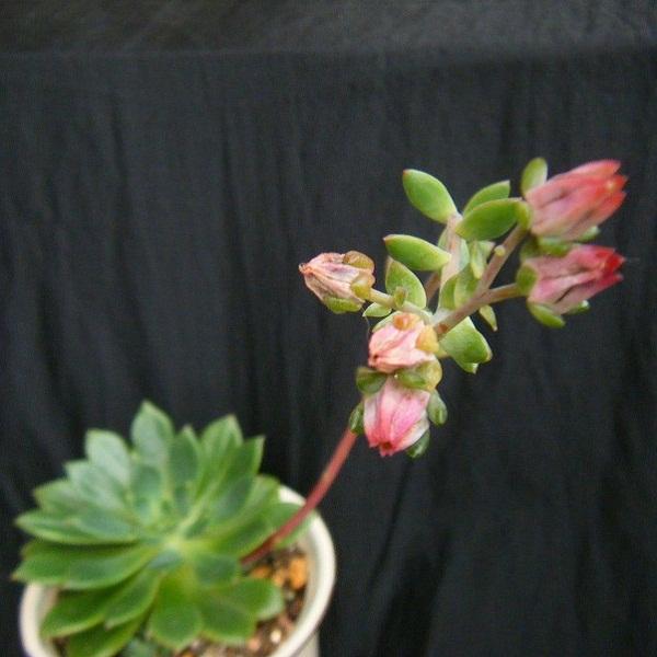 echeveria emeraldlip (4).JPG