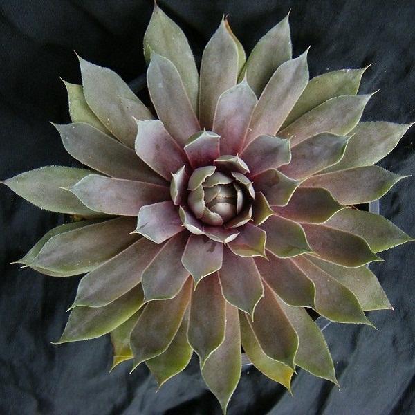 semperu-rose (1).JPG