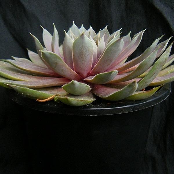 semperu-rose (3).JPG